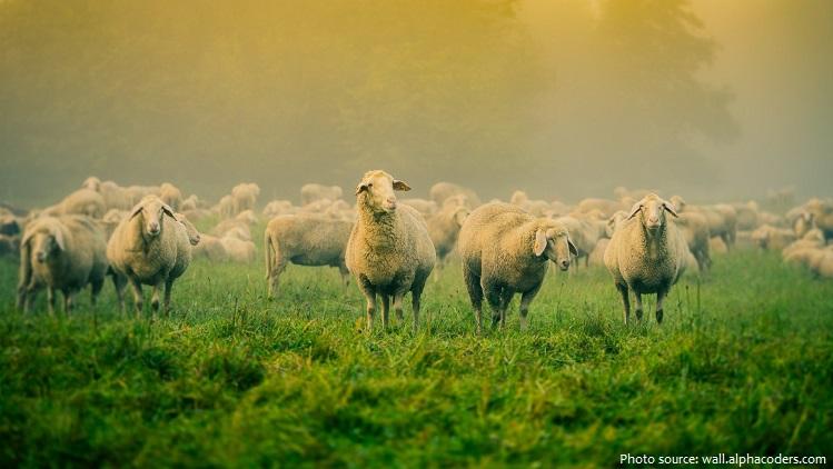 grass sheep