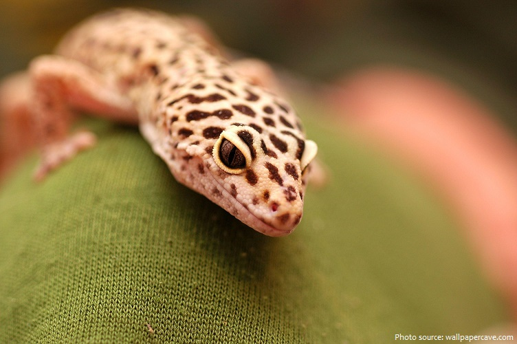 leopard-gecko-2