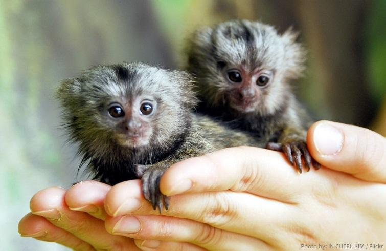 marmoset babies