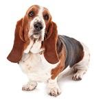 basset-hound-4