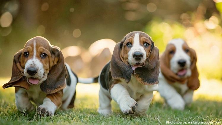 basset-hounds-4