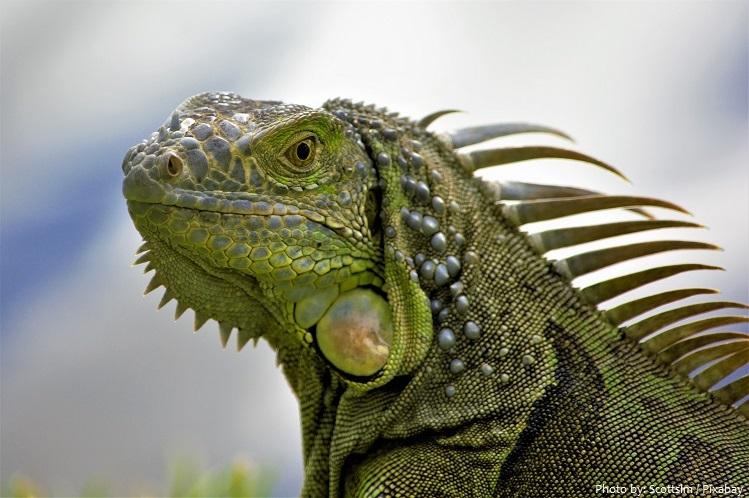 green-iguana-2