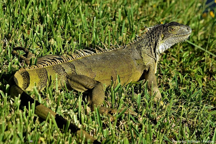green-iguana-3