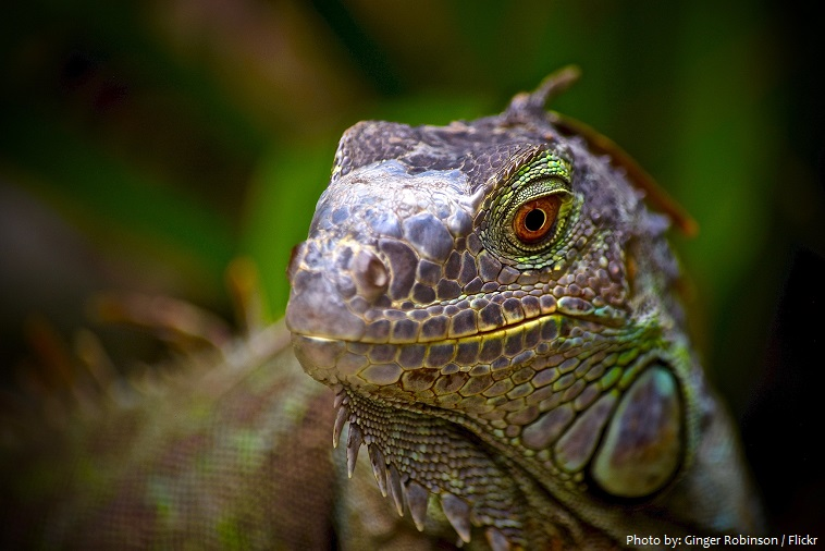 green-iguana-4