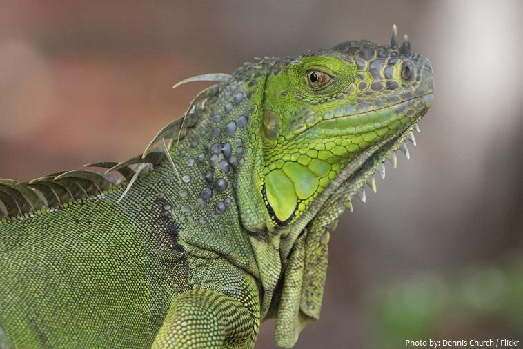 green-iguana-6
