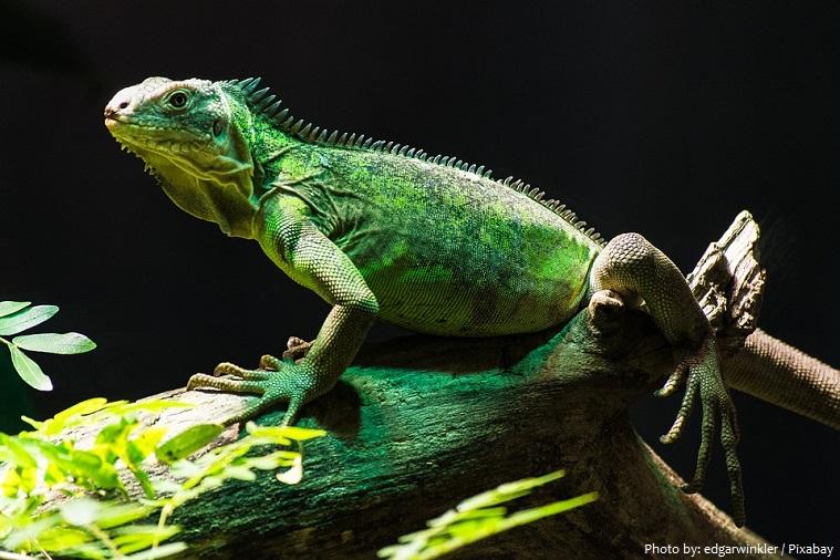 green-iguana-7