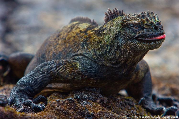 marine-iguana-2