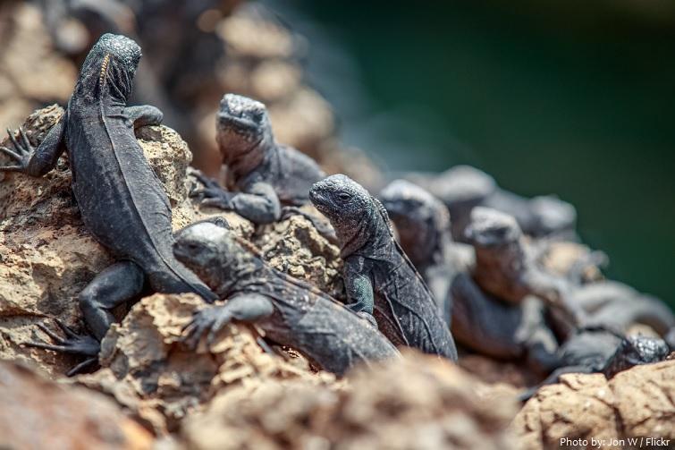 marine iguana babies