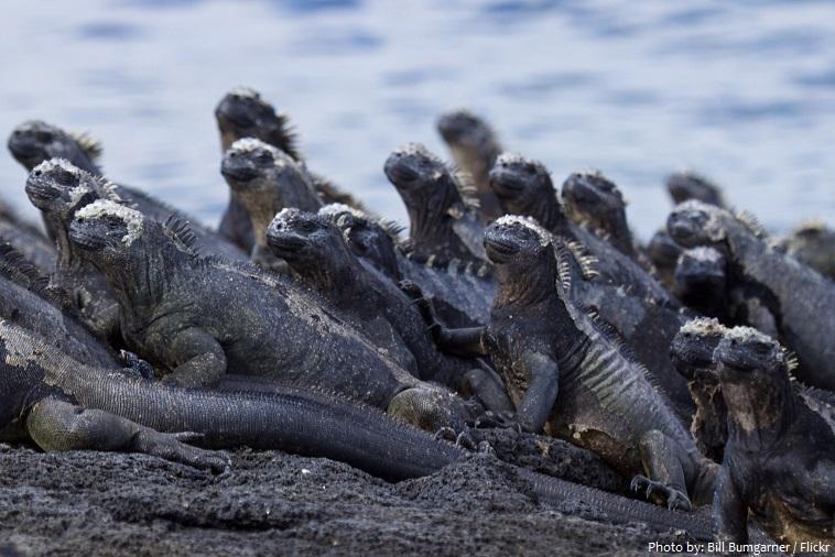 marine iguana mcolony