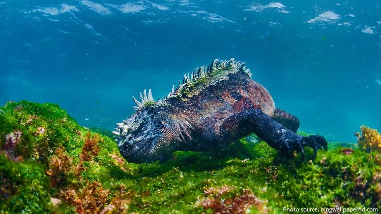 marine iguana diving