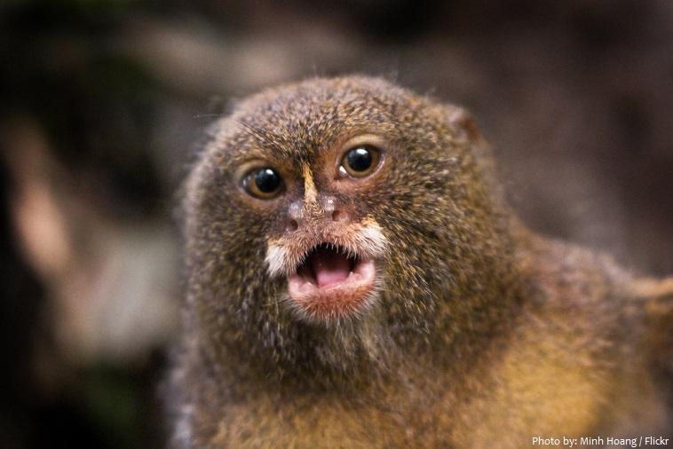 pygmy-marmoset-4
