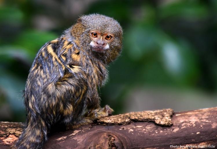 pygmy-marmoset-5