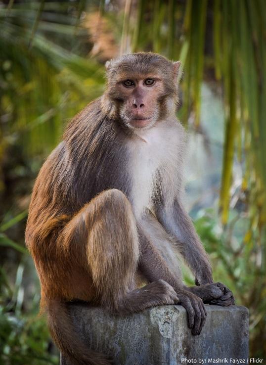 rhesus-macaque-2