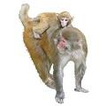 rhesus-macaque-4