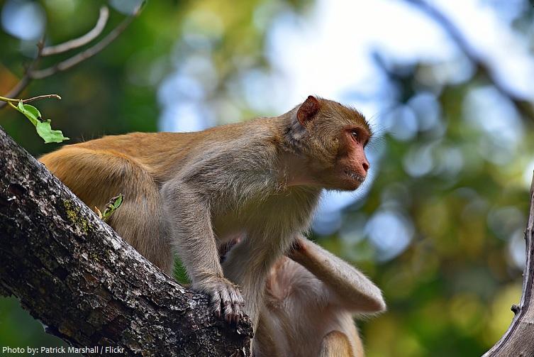 rhesus-macaques-2