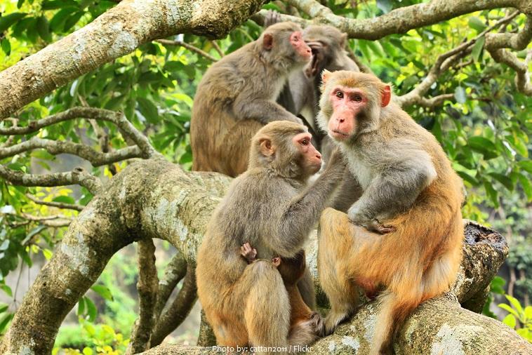 rhesus-macaques-3