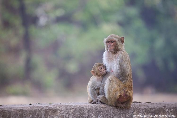 rhesus macaques mother and young
