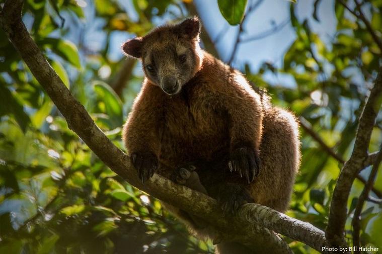 tree-kangaroo-2