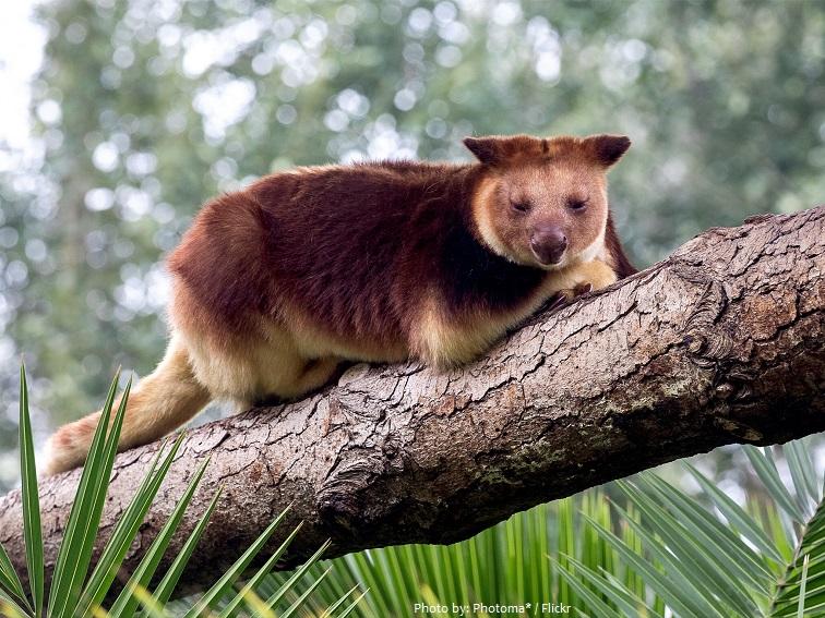 tree-kangaroo-3