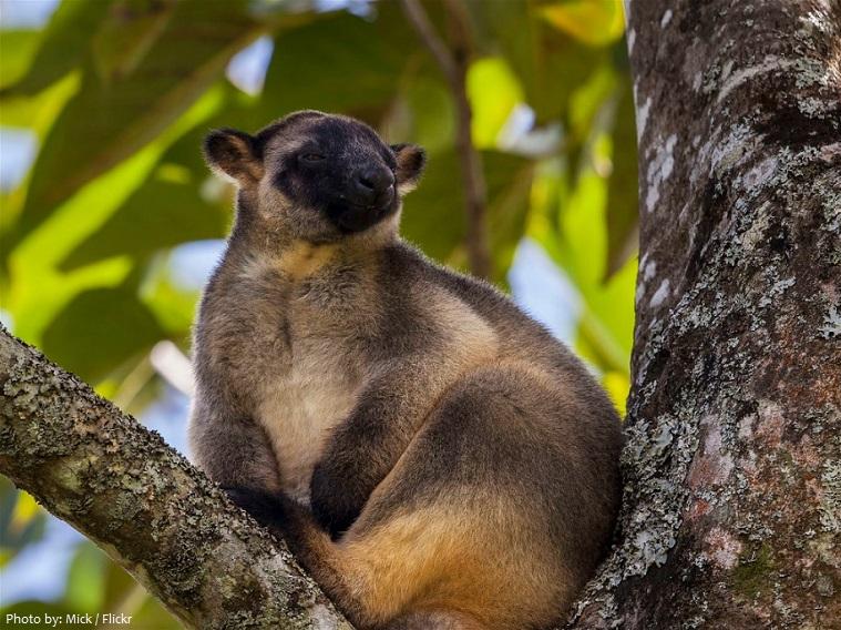 tree-kangaroo-4