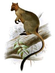 tree-kangaroo-7