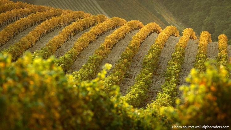vineyard-2