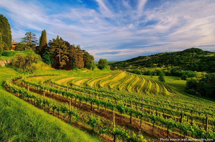 vineyard-5