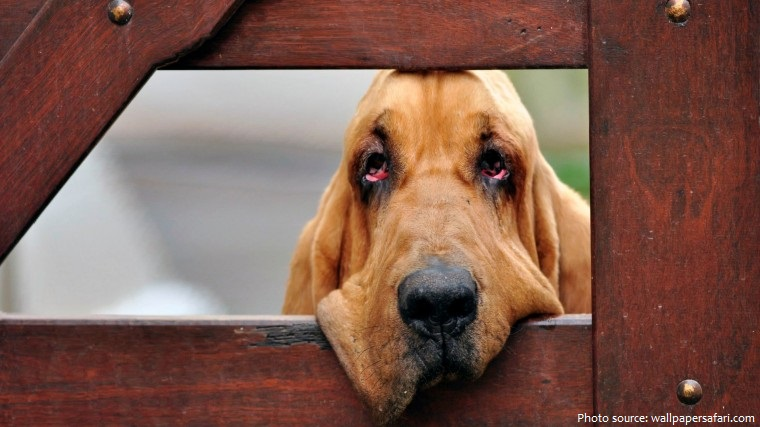 bloodhound-5