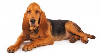 bloodhound-7