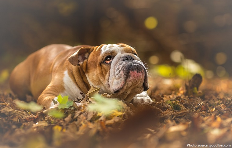 bulldog-4