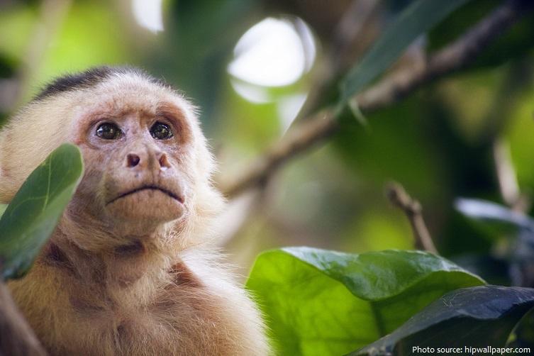 capuchin-monkey-2