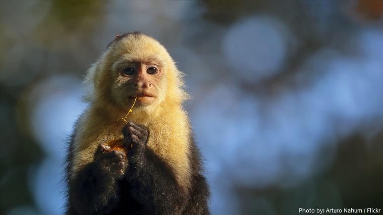 capuchin monkey eating