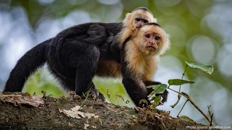 capuchin monkeys mother and cub