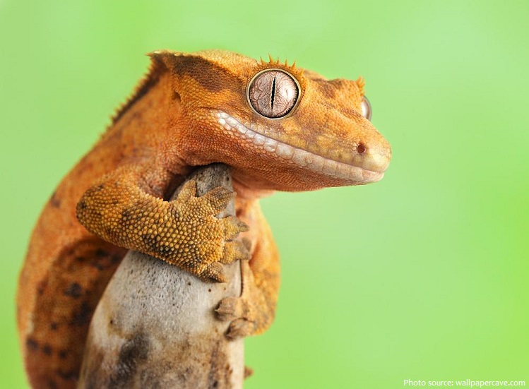 crested-gecko-3