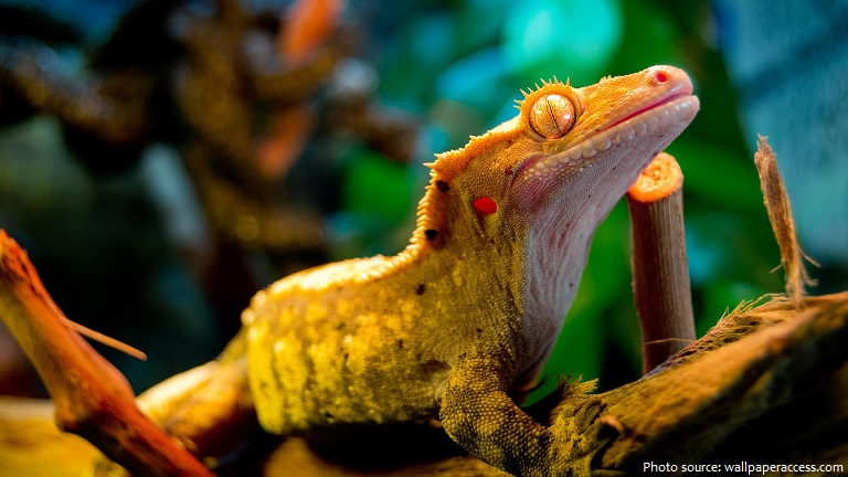 crested-gecko-4