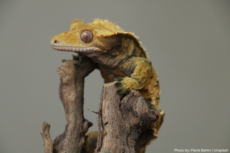 crested-gecko-6