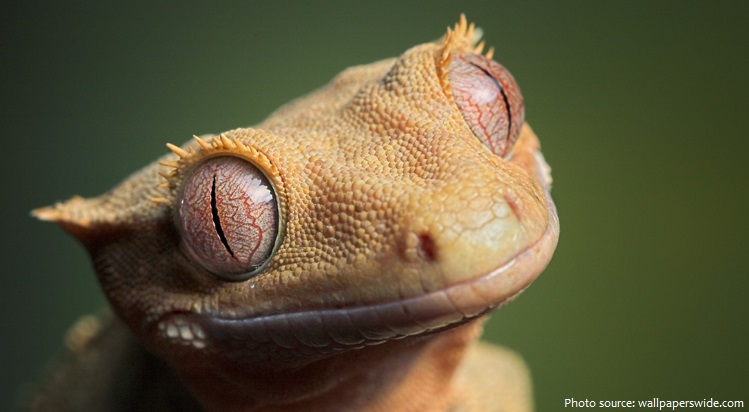 crested-gecko-7