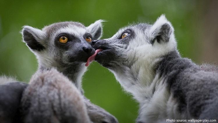 ring-tailed-lemurs-2