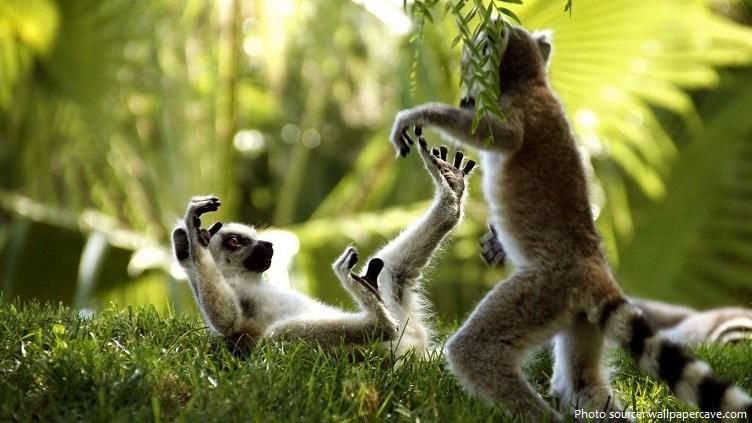 ring-tailed-lemurs-3
