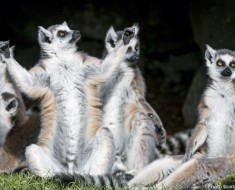 ring-tailed-lemurs-4