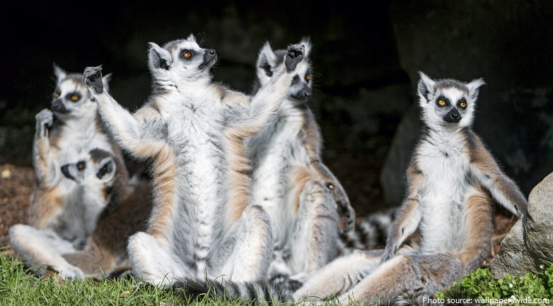 ring-tailed-lemurs-4