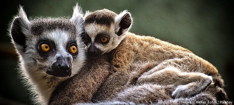 ring-tailed-lemurs-5