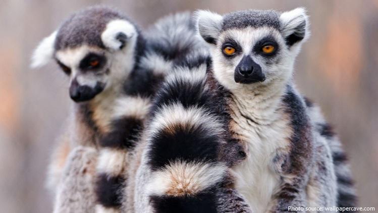 ring-tailed-lemurs-6