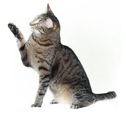 tabby-cat-3