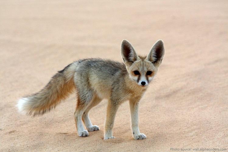 arabian desert fox