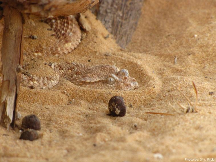 arabian desert snake