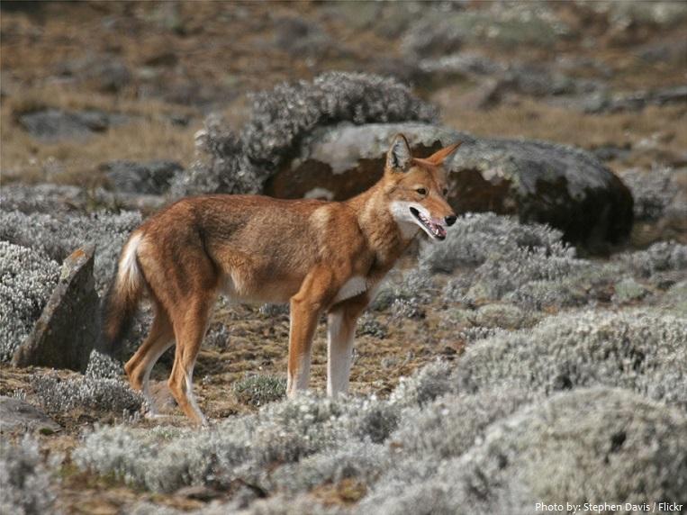 ethiopian-wolf-6
