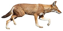 ethiopian-wolf-7