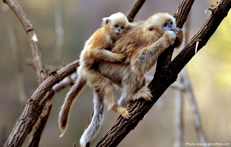 gibbon mother and cub