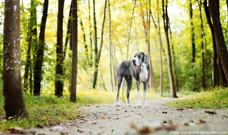 great-dane-2